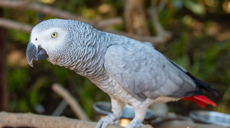African Grey Parrot Learn Their Personality And Suitability As A Pet Pet Parrot Care